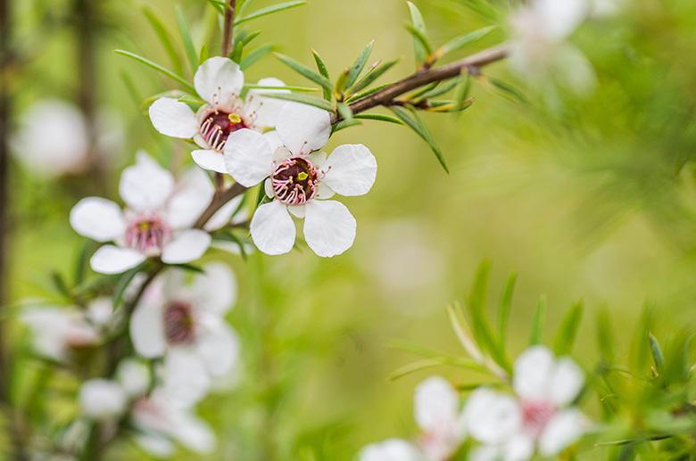小さくて可愛らしいマヌカの花